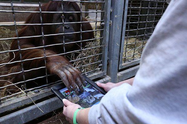 ?Appki dla małpki? ? zoo sprezentowało orangutanom iPady